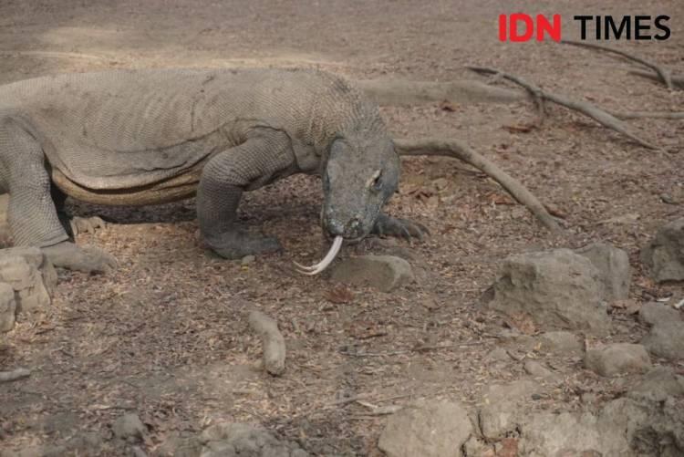 KLHK : Pembangunan Jurassic Park di Taman Nasional Komodo ...